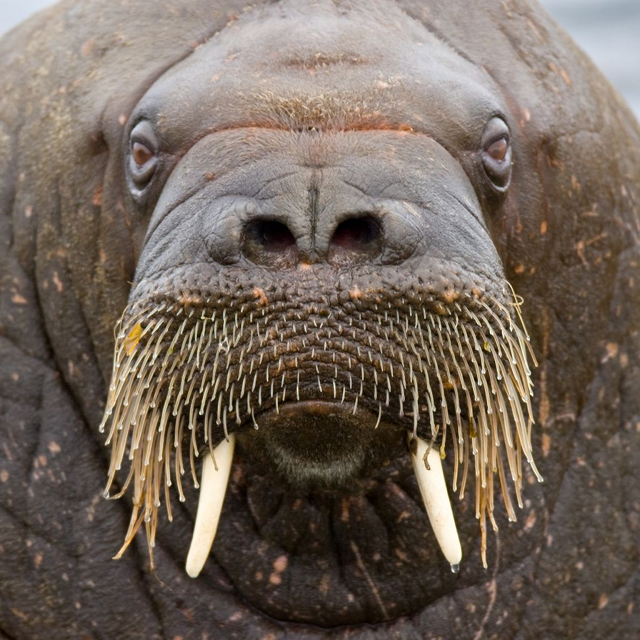 Our Walrus Mascot