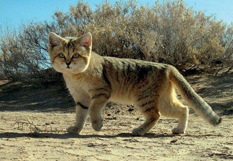 Conoce a los gatos de arena