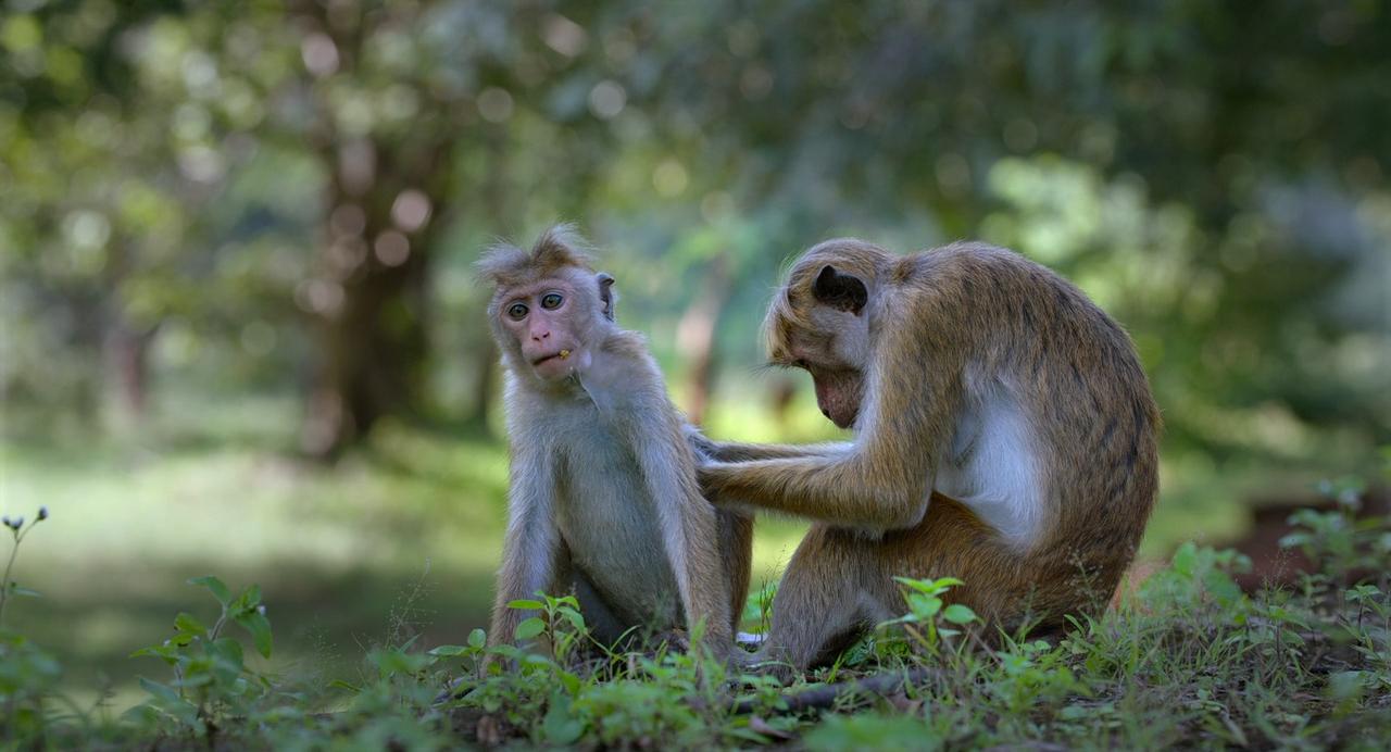 Maymun Krallığı - Monkey Kingdom 2015 (720p BluRay) DUAL TR-EN - HD Belgesel indir