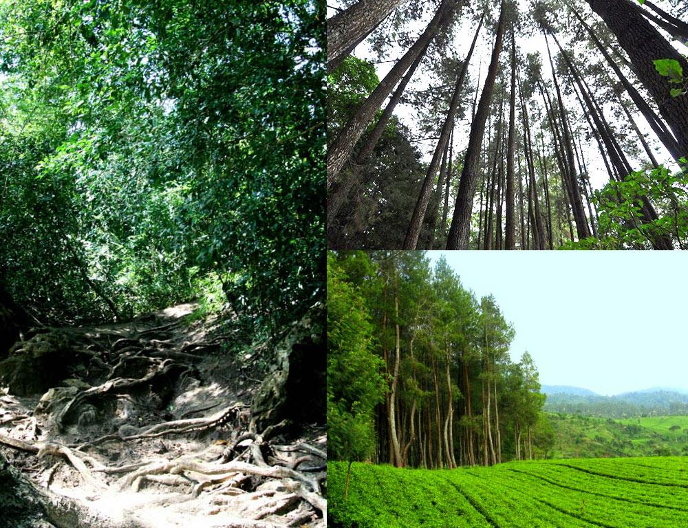 Wisata Alam Di Bogor Hutan Pinus Catang Malang Pilihan Seru