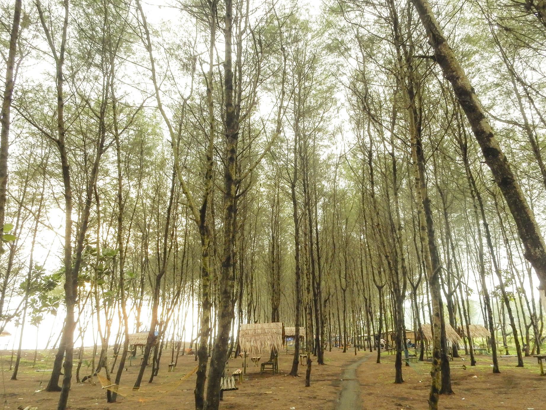 pohon cemara di pantai sodong adipala